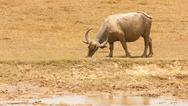 Stock Photo of large water buffalo grazing