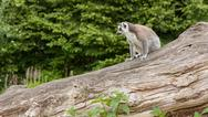 Stock Photo of ring-tailed lemur in captivity