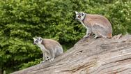 Stock Photo of ring-tailed lemurs in captivity