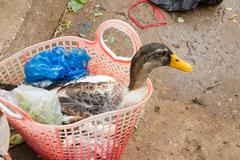 duck bought for consumption on a vietnamese market - stock photo