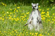 Stock Photo of sunbathing ring-tailed lemur in captivity