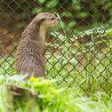 Stock Photo of otter in captivity is looking through the fence of it's cage