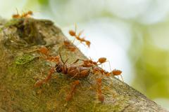 Ants in a tree carrying a death bug Stock Photos