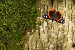 red admiral butterfly - vanessa atalanta - stock photo