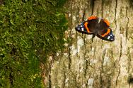 Stock Photo of red admiral butterfly - vanessa atalanta