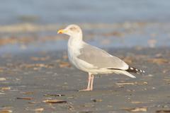herring gull on a beach - stock photo