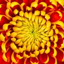 Stock Photo of yellow dahlia flower isolated