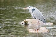 Stock Photo of great blue heron standing on a rock