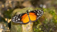 golden helicon butterfly - stock photo