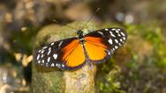 Stock Photo of golden helicon butterfly