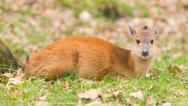 Stock Photo of natal red duiker (cephalophus natalensis)