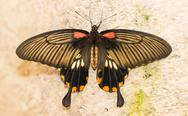 Stock Photo of butterfly insects pachliopta aristolochiae