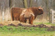 Stock Photo of portrait of typical scottish bulls
