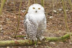 Snow owl with large claws Stock Photos
