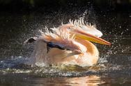 Stock Photo of pelican taking a refreshing