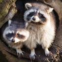Adult raccoon at his nest Stock Photos