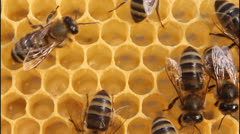 Stock Video Footage of Bees build honeycombs 5491