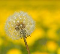Dandelion hawkbit with a yellow background Stock Photos