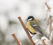 A blue tit in the snow Stock Photos
