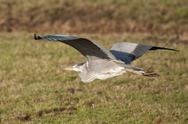 Stock Photo of great blue heron flying