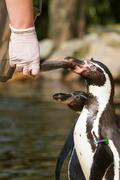 a pinguin is being fed - stock photo