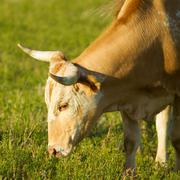 Stock Photo of Bull Grazing