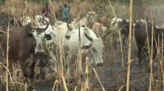 Cattle Herding - stock footage