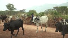 Herding Cows Stock Footage