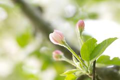 Flowers of apple trees in the countryside. macro Stock Photos
