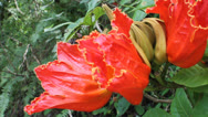 """Stock Video Footage of African Tulipan - """"Meaito"""" Puerto Rico"""