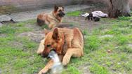 Shepherd with puppi Stock Footage