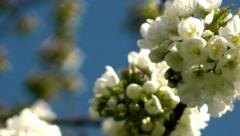 Cherry Blossom - Close Up against blue sky in spring Stock Footage