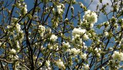 Cherry Blossom - branches against blue sky in spring Stock Footage