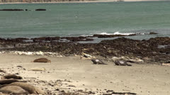 Games of young elephant seals Stock Footage