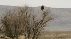 Bald Eagleand Hawk share tree Stock Footage
