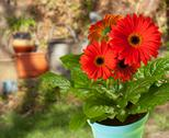 Stock Photo of gerbera