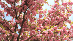 Cherry Blossom 07 Stock Footage