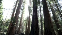 Sunlight streaming through giant redwood trees in Yosemite National Park - stock footage