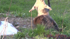 Feral Cat Play Fight Stock Footage