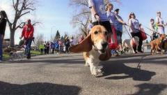 Bassett Hound Walking Stock Footage