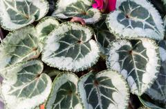 Variegated cyclamen leaves Stock Photos