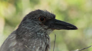 Stock Video Footage of Juvenile black crowned night heron