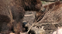 Two bears searching for food Stock Footage