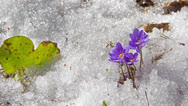 Stock Video Footage of melting snow and spring flowers , time-lapse