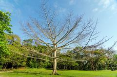 Large Leafless Tree Stock Photos