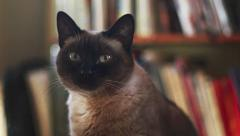 Dolly Left to Siamese Cat by Bookshelf Stock Footage