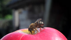 Bee dines - stock footage