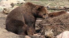 Curious bears searching for food Stock Footage