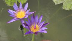 Time lapse waterlily flower Stock Footage