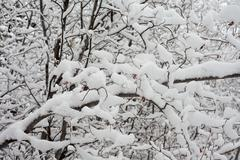 background of snow-laden twigs and branches. - stock photo
